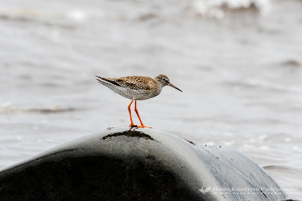 Norway, Klepp. Spotted redshank.