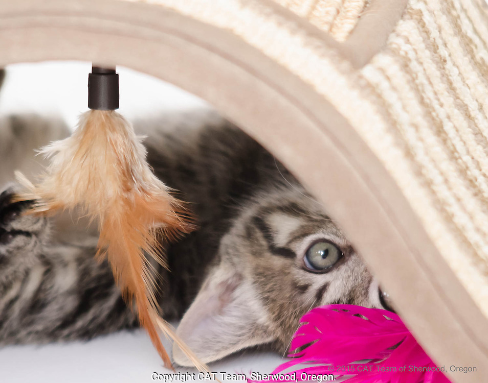 Black striped kitten with colored feathers