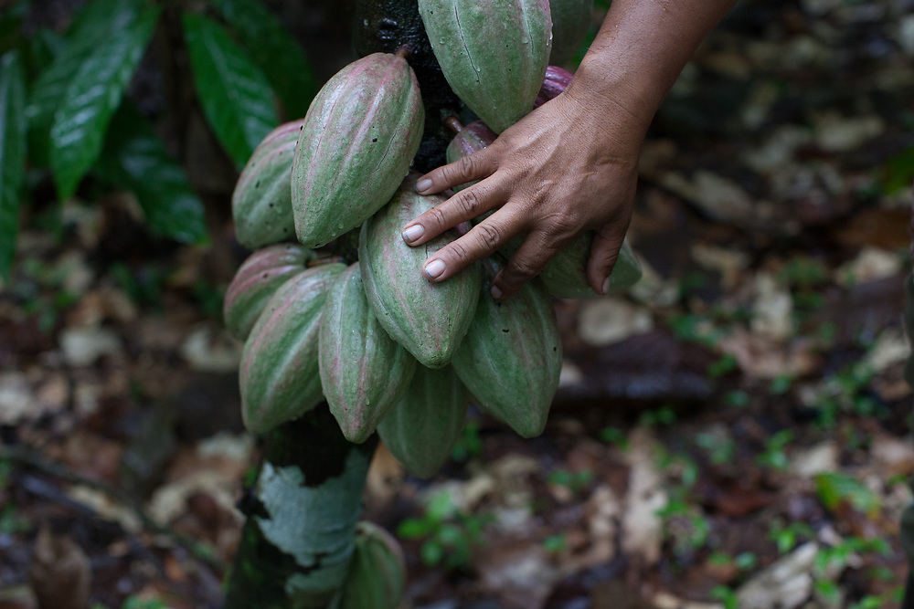 A hand touches cocoa pods on a tree at UNCRISPROCA Fairtrade cocoa farms in La Cruz de Rio Grande, RAAS, Nicaragua.