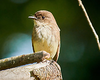 Eastern Phoebe. Image taken with a  Image taken with a Nikon 1V3 camera and 70-300 mm VR lens