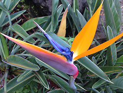 Bird of Paradise (Strelitzia reginae), Maui, Hawaii, US