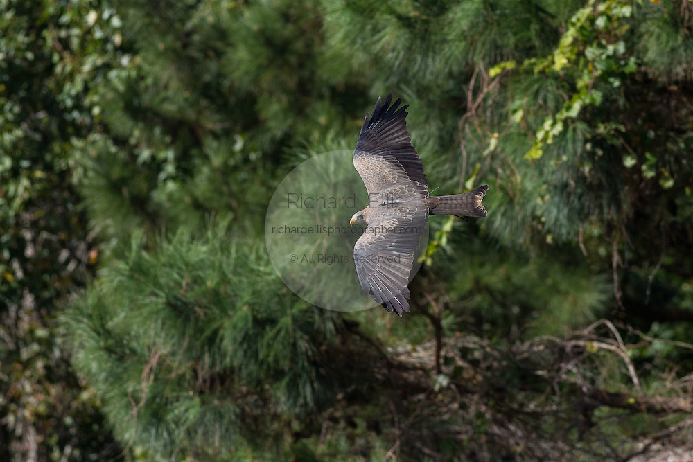 Yellow-billed kite flying in at the Center for Birds of Prey November 15, 2015 in Awendaw, SC.