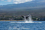 humpback whale, Megaptera novaeangliae, lobtailing or fluke slapping, with paddleboarder in background; Kihei, Maui, Hawaii, Hawaii Humpback Whale National Marine Sanctuary, USA ( Central Pacific Ocean )