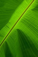 Close up of a banana leave with colorful green. Vietnam, Asia