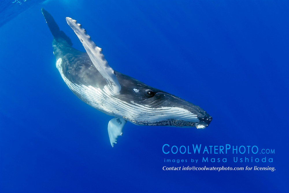 humpback whale, Megaptera novaeangliae, extending pectoral fins, Hawaii, USA, Pacific Ocean