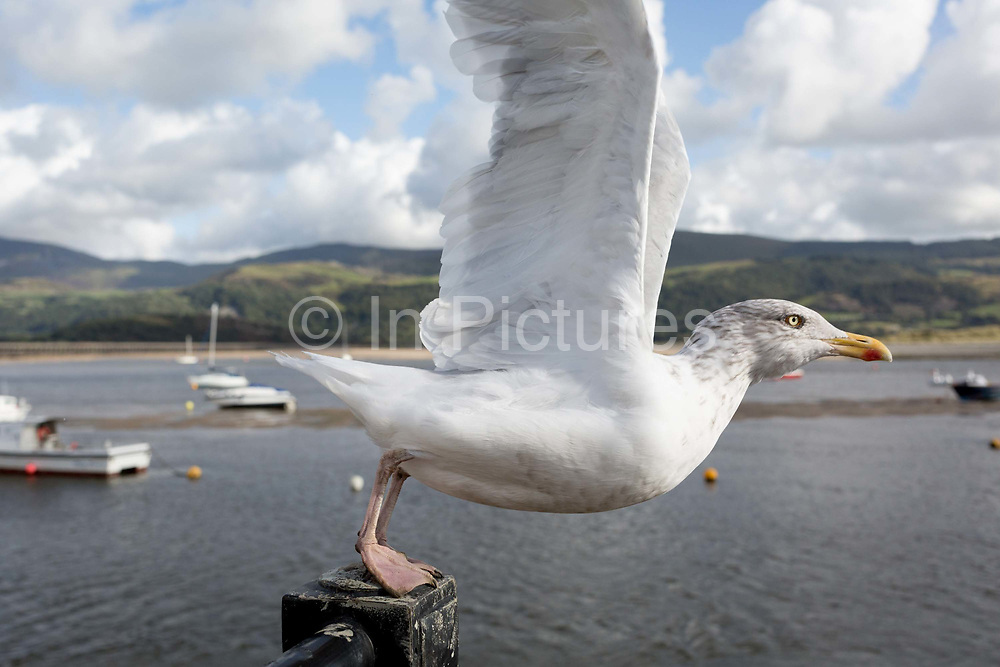 An adult seagull launches itself into the air from a railing overlooking Mawddach Estuary, on 13th September 2018, in Barmouth, Gwynedd, Wales.