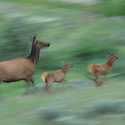 Elk cow with twin calves running across a prarie during early summer in Wyoming.