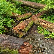 Fallen Cedars - Olympic National Park, WA