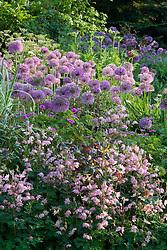 Allium hollandicum and Aquilegia vulgaris var stellata 'Rosea' at Glen Chantry
