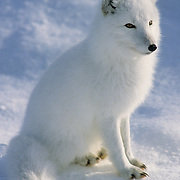 Arctic Fox (Alopex lagopus) portrait on the frozen ice pack of Churchill, Manitoba, Canada.