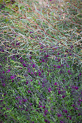 Salvia × jamensis 'Nachtvlinder' (Woody sage) with Salix purpurea 'Nancy Saunders' AGM (Purple Osier Willow)