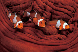 A trio of Western Clown Anemonefish, Amphiprion ocellaris, cavort above their host, a Magnifecent Sea Anemone, Heteractis magnifica. Lembeh Straits, N. Sulawesi, Indonesia, Pacific Ocean