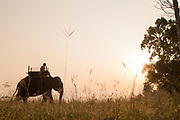 View of Asian elephant used for tourist safaris at sunset, Satpura National Park, Madhya Pradesh, India