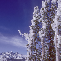 Iced Whitebark Pine on Mammoth Mountain, Sierra Nevada. Minarets, background, Inyo National Forest, Ansel Adams Wilderness.