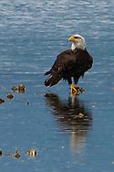 an immature Bald Eagle (Haliaeetus leucocephalus) (Halietus leucocephalus) stands on an oyster bed along Hood Canal - Kitsap Peninsula, in Puget Sound, Washington state, USA