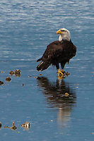an immature Bald Eagle (Haliaeetus leucocephalus) (Halietus leucocephalus) stands on an oyster bed along Hood Canal - Kitsap Peninsula, in Puget Sound, Washington state, USA