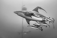 """Blacktip shark-Requin bordé (Carcharhinus limbatus), South Africa.<br /> <br /> The blacktip shark (Carcharhinus limbatus) belongs to the family of Carcharhinidae. He is present in three big oceans and in the Mediterranean Sea. He can live 12 years for a maximum size of 2,80m. One distinguish them by blackpoint on the pectoral, dorsal, pelvic fins and the caudal fin. The body is grey with reflections bronze and the white stomach. Shark viviparous animal (birth of the young already formed sharks), females can carry about ten youngs every two years. The blacktip shark is endangered by its intensive, commercial and sports peach. He is classified """"almost threatened"""" by the Red List of the UICN."""