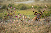 Bull elk lying in grass with thistle