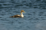 Common Eider - Somateria mollissima - Immature male