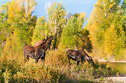 Bull moose in lip curl pose next to a small stream in Grand Teton National Park.