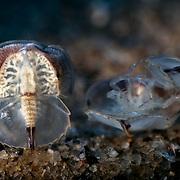 These are endangered Japanese horseshoe crab (Tachypleus tridentatus) juveniles clustering together.
