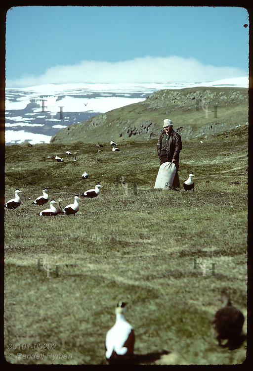 Baldur Bjarnason-farmer on on Vigur Island-walks amid eider ducks w/bag of down gleaned from nests Iceland