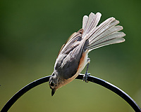 Tufted Titmouse. Image taken with a Nikon D5 camera and 600 mm f/4 VR lens.