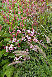 Echinacea purpurea with Persicaria amplexicaulis 'Summer Dance' and Pennisetum setaceum