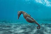 Common Seahorse (Hippocampus taeniopterus)<br /> Lesser Sunda Islands<br /> Indonesia<br /> Pregnant male