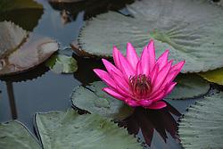 Water Lily, magenta #9 horiz