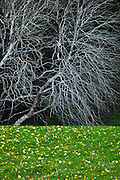 Bare tree with leaves on grass