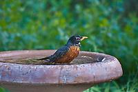 American Robin (Turdus migratorius) male in birdbath.  Males:  Black head and dark red breast.  Female:  Dark gray head and pale reddish breast.