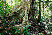 A large tree with buttress roots in the Manu National Park Reserve Zone, Peru.