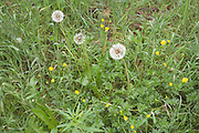 close up of grass with wild dandelions and yellow buttercup flowers