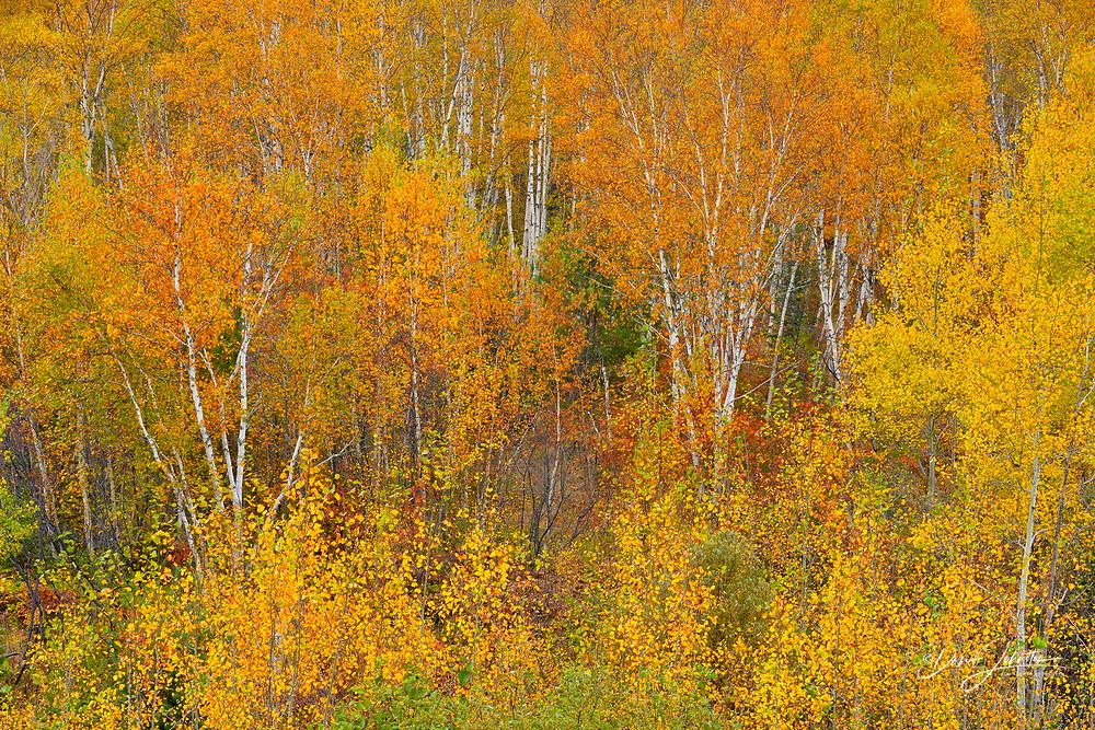 Birch and aspen trees with autmn folaige, Greater Sudbury (Wanup), Ontario, Canada