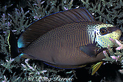Vlaming's or bignose unicornfish, Naso vlamingii, sleeping in the coral at night with nighttime coloration, color change sequence #1 of 2, Palau ( Belau ), Micronesia ( Western Pacific Ocean )