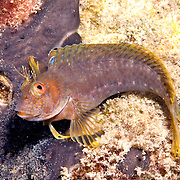 Seaweed Blenny inhabit reefs and hard bottoms with algae and gorgonians in Tropical West Atlantic; picture taken Blue Heron Bridge, Palm Beach, FL.