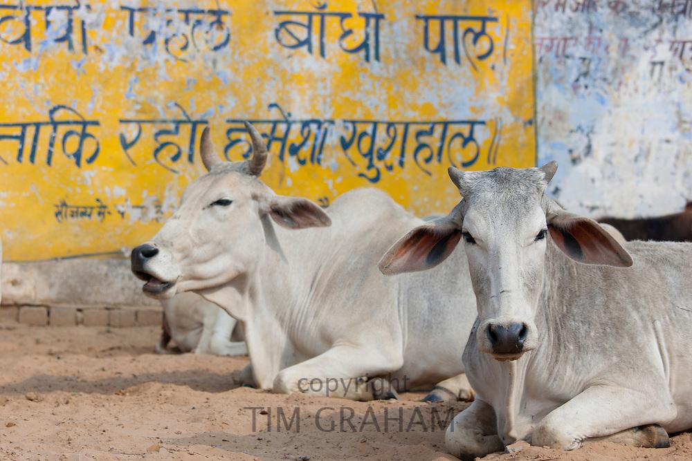 Bull among herd of cattle at Jhupidiya Village in Sawai Madhopur, Rajasthan, Northern India
