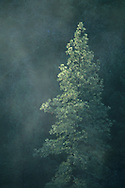 Sunlight on pine forest and mist along the North Fork of the Consumes River, El Dorado County, California