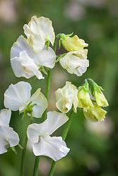 Lathyrus odoratus 'White Frills'. Sweet pea