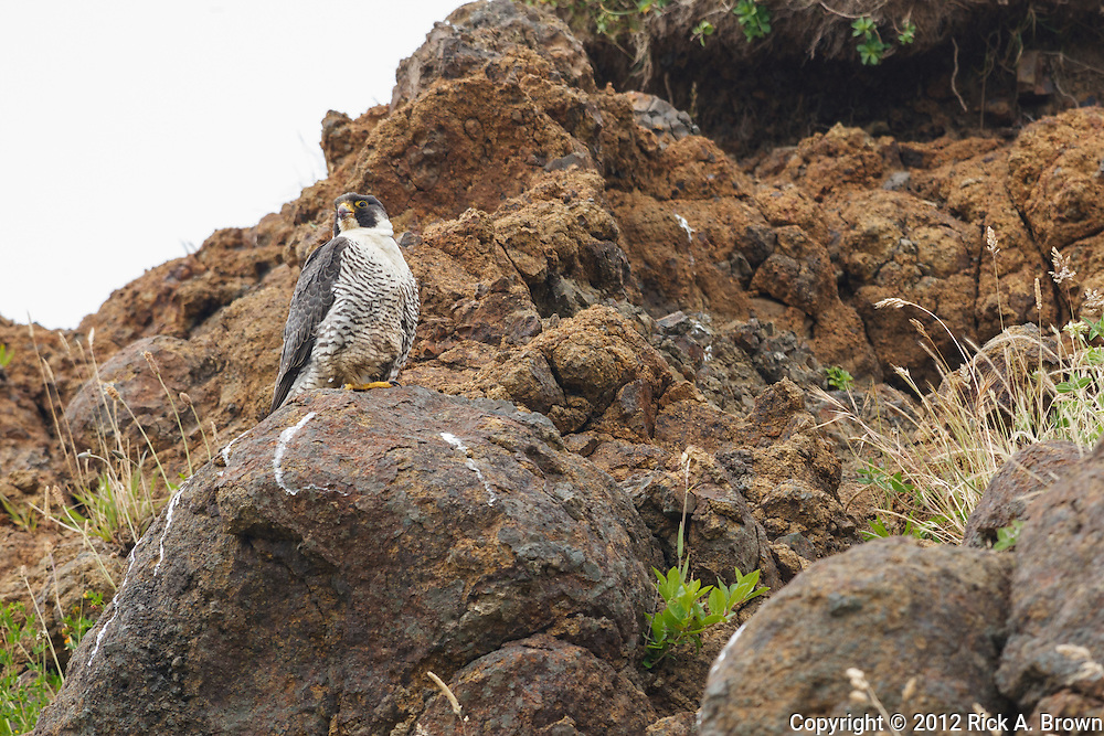 USA, Oregon, Newport, Yaquina Head Outstanding Natural Area,  Peregrine Falcon (Falco peregrinus)