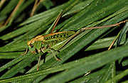 Common Field grasshopper, Chorthippus brunneus, resting on blade of grass,