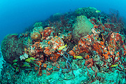 The Breakers Reef offshore Palm Beach, Florida, United States, is covered in Elephant Ear Sponges, Agelas clathrodes, and Barrel Sponges, Xestospongia sp.