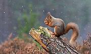 Red squirrel in snow flurry ,Scotland.