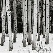 Snow blanketing the ground beneath a group of aspen trees.