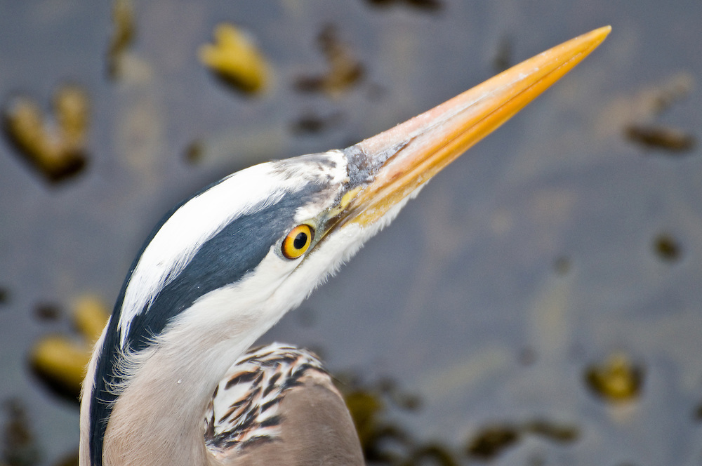 A Great Blue Heron (Ardea herodias) hunts for fish on the Magnolia side of Ballard Locks on May 10, 2009.  These large birds stand motionless, hunting fish along Washington's freshwater and seaside shores.  (Photo/William Byrne Drumm)