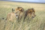 Kenya, Masai Mara, two young lions