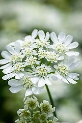 Orlaya grandiflora - White laceflower. syn. Caucalis daucoides, Caucalis grandiflora