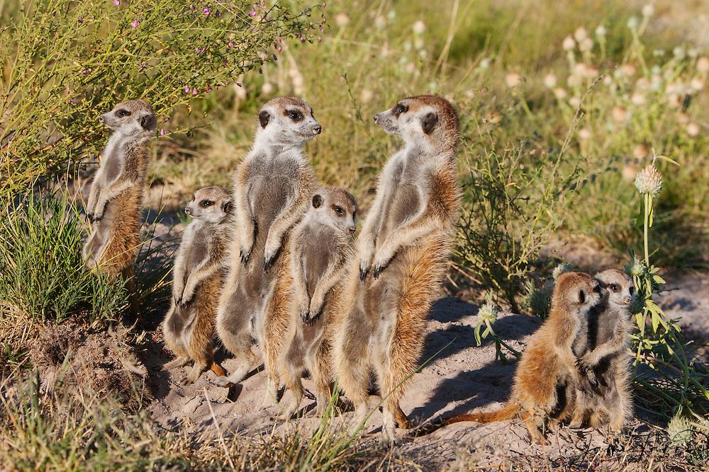 A family clan of meerkats and playful pups (Suricata suricatta) on sentry duty  in the Makgadikgadi Pan of the Kalahari, Botswana, Africa