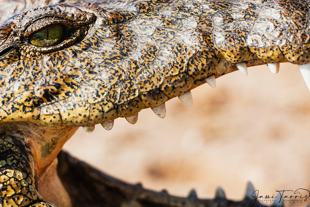 A close-up of a Nile crocodile (Crocodylus niloticus) exposing its teeth with its mouth open, Chobe National Park, Botswana,Africa